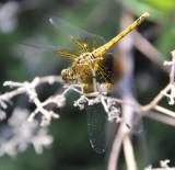 dragonfly at skippers pocatello _DSC2298.jpg