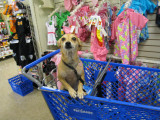 PetSmart, Yeah! Being a fashionista, I had to check out the newest duds, first!