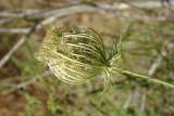 Cenoura-brava // Queen Anne's Lace (Daucus carota)