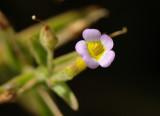 Lenifólio (Gratiola linifolia)