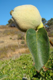Marmelo /|\ Quince (Cydonia oblonga)