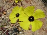 Alcar-do-Algarve // Tuberaria (Xolantha globulariifolia)