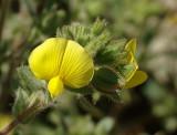 Flor do Campo // Wildflower (Ononis pubescens)