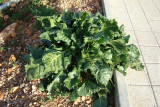 Beterraba Sacarina // Beet roots (Beta vulgaris)