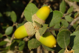 Bolotas /|\ Acorns (Quercus ilex spp rotundifolia)