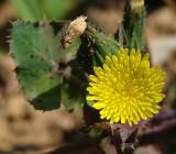 Serralha // Sow Thistle (Sonchus oleraceus)