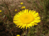 Erva-montã (Pulicaria odora)