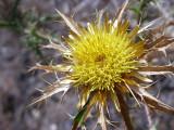 Cardo-amarelo (Carlina corymbosa)