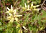 Cerástio-enovelado // Sticky Chickweed (Cerastium glomeratum)