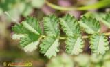 Pimpinela // Salad Burnet (Sanguisorba minor)