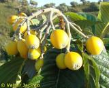 Nêsperas // Loquart Fruit (Eriobotrya japonica)