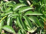 Sabugueiro // Elderberry (Sambucus nigra)