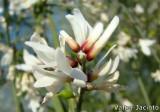 Piorno-branco // Bridal Broom (Retama monosperma)