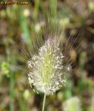Rabo-de-lebre // Harestail Grass (Lagurus ovatus)