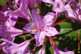 Adelfeira // Rhododendron (Rhododendron ponticum subsp. baeticum)