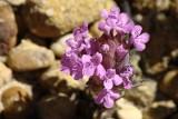 Erva-ursa ou Tomilho-cabeçudo // Wildflower (Thymus lotocephalus)