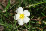 Esteva-das-areias (Cistus libanotis)