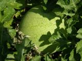 Melancia // Watermelon (Citrullus lanatus)