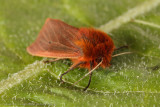 Macro-moths
