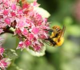 Bee on Sedum.