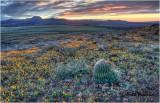 _MG_0685  Barrel Cactus Sunrise