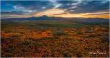 MG_0746  Poppy Field Sunrise