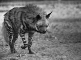 IMG_7098 -  Hyaena hyaena