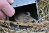 Etoniah mouse trapping