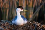 Western Grebe on nest