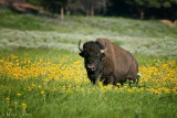 Bison in flowers