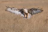 Ferruginous Hawks wings wide