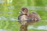 Loon baby