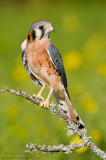 Kestral perched