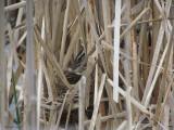 Carouge - Nidification -Carouge - 2011 -  Nesting -  Red-winged Blackbird
