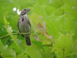 Bruant chanteur - L'arbre aux Bruants chanteurs - 2011 - Song Sparrows' tree