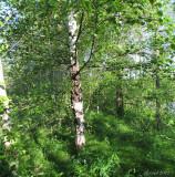 Le bouleau magique - The magic birch