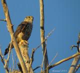 Faucon émérillon - Il mange des libellules -  Merlin - Eating dragonflies