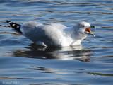 Goéland à bec cerclé - Ring-billed Gull