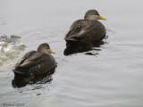 Canard noir - American Black Duck