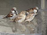 Moineau domestique - House Sparrow