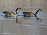 Bernache du canada - Canada Goose