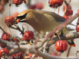 Jaseur d'Amérique - Cedar Waxwing