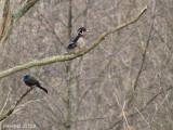 Quiscale bronzé/Canard branchu - Common Grackle/Wood Duck