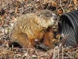 Marmotte - Ground Hog