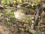 Roitelet à couronne rubis - Ruby-crowned Kinglet