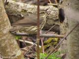 Paruline des ruisseaux - Northern watertrush
