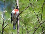 Cardinal à poitrine rose -Rose-breasted Grosbeak