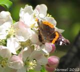 Papillon - Butterfly