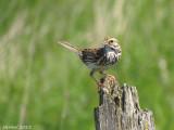 Bruant des prés - Savannah Sparrow