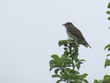 Moucherolle des aulnes - Alder Flycatcher
